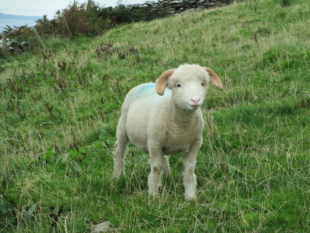 Our official greeter from the County Clare Chapter of the Irish Sheep Council