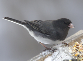 Source: allaboutbirds.org