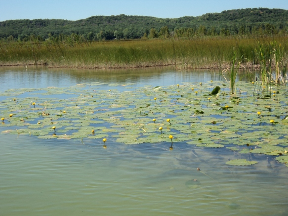 Lily pads in th eGrass River Natural Area